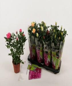 Topfrose ,  Rosa, 13 cm Topf