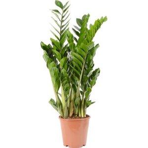 Glücksfeder Höhe 70 - 80 cm Topf-Ø 21 cm Zamioculcas zamiifolia