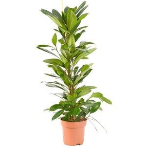 Afrikanische Feige Höhe 90 - 100 cm Topf-Ø 21 cm Ficus cyathistipula