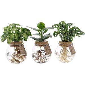 Grünpflanze sortiert Hydrokultur im Korkenglas Topf-Ø ca. 12 cm