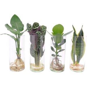 Grünpflanze sortiert Hydrokultur im Zylinder-Glas Topf-Ø ca. 12 cm