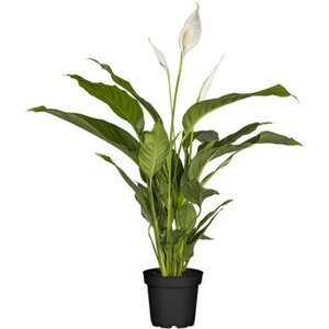 "Einblatt ""Sweet Silvio"" Topf-Ø ca. 17 cm Spathiphyllum"