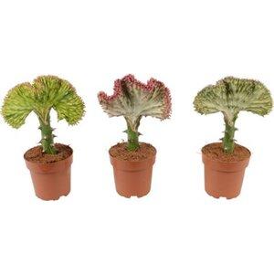 "Korallenkaktus ""Cristata"" veredelt Topf-Ø 11 cm Euphorbia lactea"