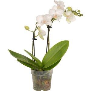 Mini Schmetterlings-Orchidee 2-Trieber Topf-Ø ca. 7 cm Phalaenopsis