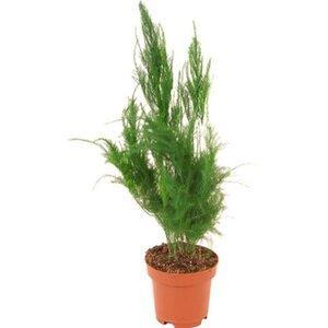 Zierspargel Höhe 10 - 15 cm Topf-Ø ca. 6 cm Asparagus plumosus