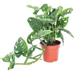 """Lochpflanze """"Leichtlinii"""" Topf-Ø ca. 12 cm Monstera adansonii"""