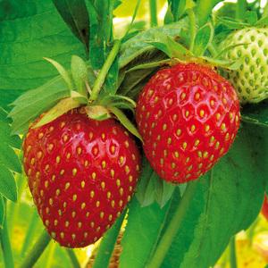 Finest Garden Erdbeer Besonderheiten