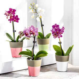 """Mini Orchidee """"Phalaenopsis"""""""