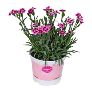 "GARDENLINE     Nelken ""Pink Kisses"""