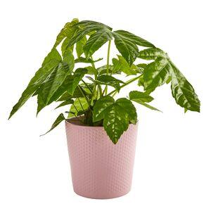 GARDENLINE®  Exotische Pflanze