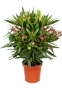 Nerium Oleanderbusch