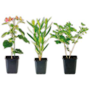 Finest Garden Sommerliche Kübelpflanze