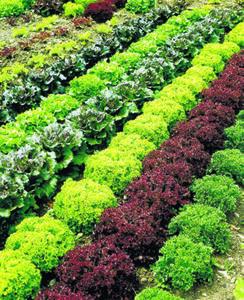 Gemüse-Jungpflanzen