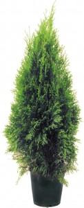 Lebensbaum Smaragd 60-80 cm ,  5 l Container