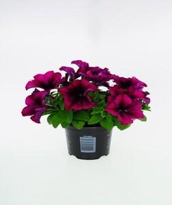 Gartenpetunie ,  10,5 cm Topf