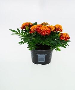 Studentenblume ,  10,5 cm Topf