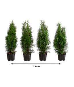 1 Meter Thuja 'Smaragd', 4 x 60 - 70 cm