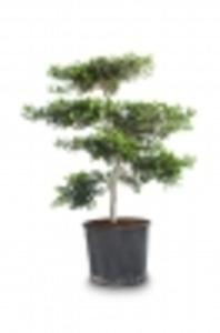 Olivenbaum Pon Pon