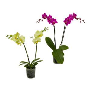 GARDENLINE     Orchidee (Phalaenopsis)