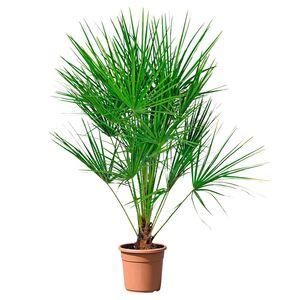 GARDENLINE®  Palmen-/Bambuspflanze