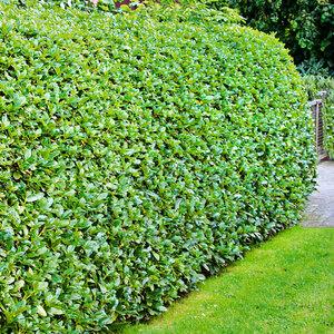 Kirschlorbeer Evergreen Darling, 10er-Set