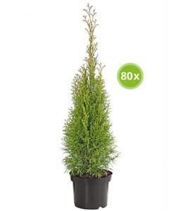 Palette Thuja 'Smaragd' 80 x 40 - 60 cm