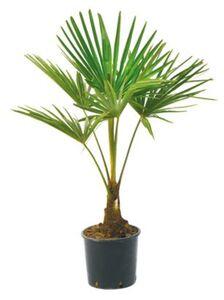 "Hanfpalme ""Trachycarpus"""