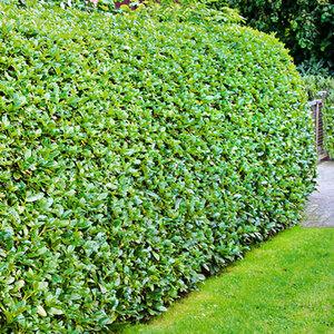 Kirschlorbeer Evergreen Darling 10er Set1