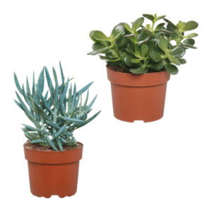 GARDENLINE     Kaktus / Sukkulente