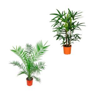 GARDENLINE     Palmenbesonderheit