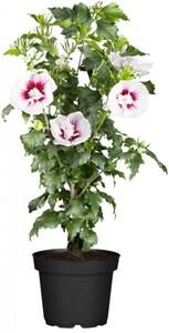 Garteneibisch 55 cm hoch Hibiscus, 4,6 l Container