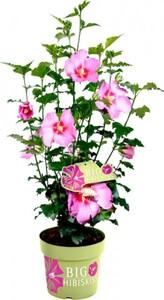 Garteneibisch Big Hibiskiss 24 cm Topf, 60 cm hoch