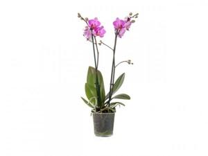 Orchidee 12 cm Topf, 2-Trieber