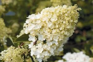 Rispenhortensie Hydrangea paniculata i. S., 4 l Container