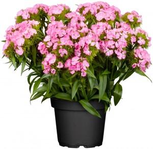 Dianthus in Sorten 23 cm Topf, 20-30 cm hoch