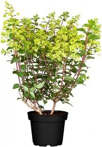 Rispenhortensie Hydrangea paniculata i. S., 10 l Container