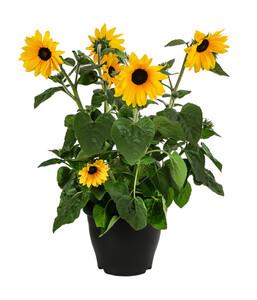 Sonnenblume 'Sunfinity'