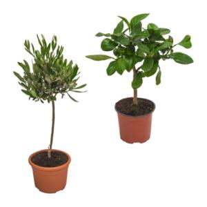 GARDENLINE     Mediterrane Gartenpflanze
