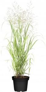 Gräser 23 cm Topf, ab 40 cm hoch