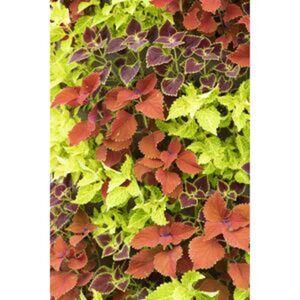 Buntnessel 'Freaky Leaves' verschiedene Farben 21 cm Topf