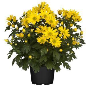 Bauernchrysantheme 13 cm Topf