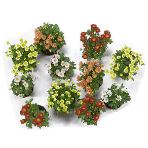 Chrysanthemen, T10,5, verschiedene Farben