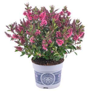 Strauchveronika 'All Blooms' verschiedene Farben 12 cm Topf