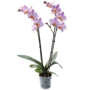 Schmetterlingsorchidee 2 Rispen verschiedene Farben 12 cm Topf
