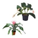 Bild 1 von GARDENLINE     Exotische Blühpflanze