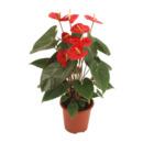 Bild 2 von GARDENLINE     Exotische Blühpflanze