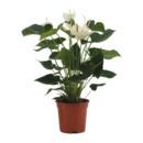Bild 3 von GARDENLINE     Exotische Blühpflanze