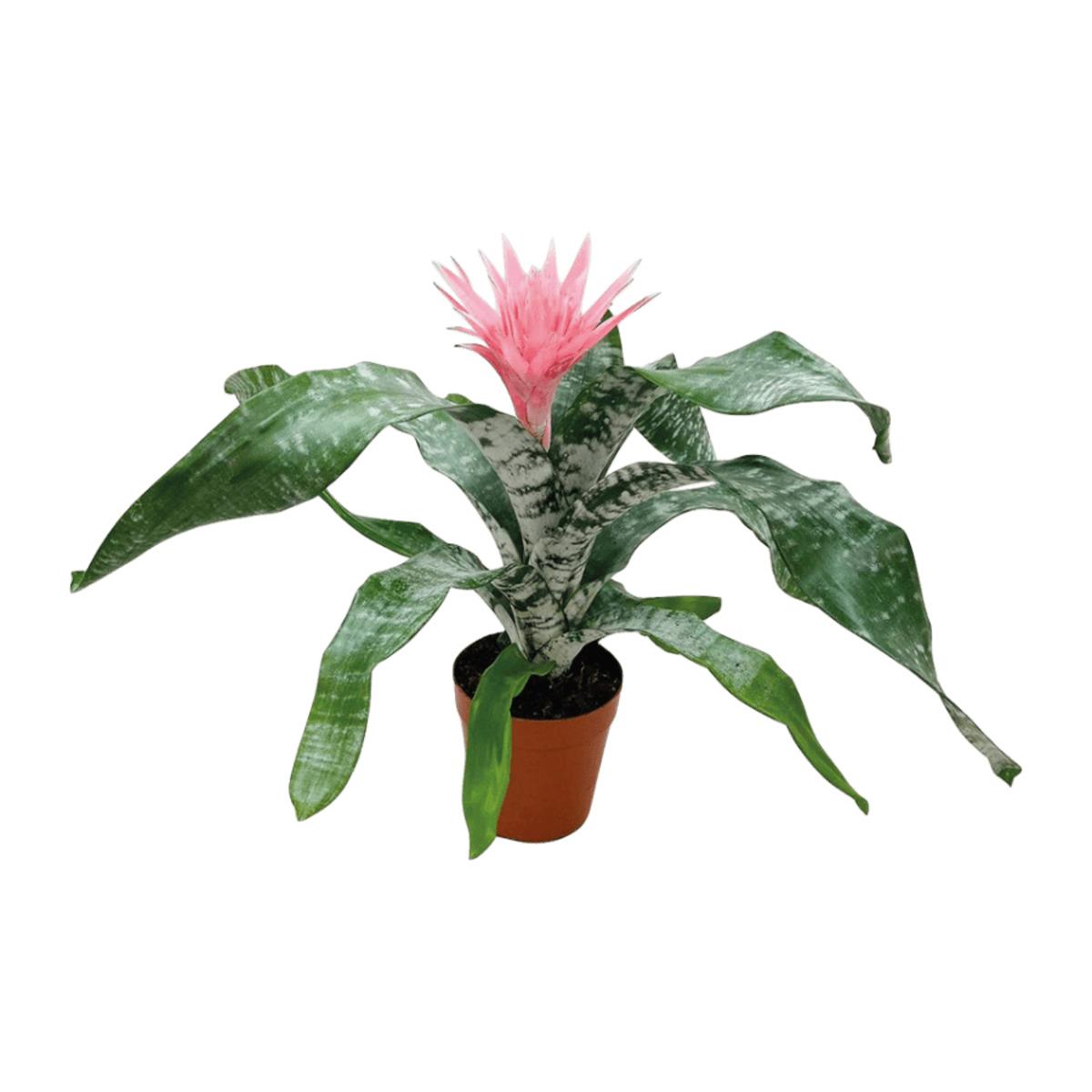 Bild 5 von GARDENLINE     Exotische Blühpflanze