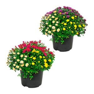 GARDENLINE     Chrysanthemen-Büsche-Trio
