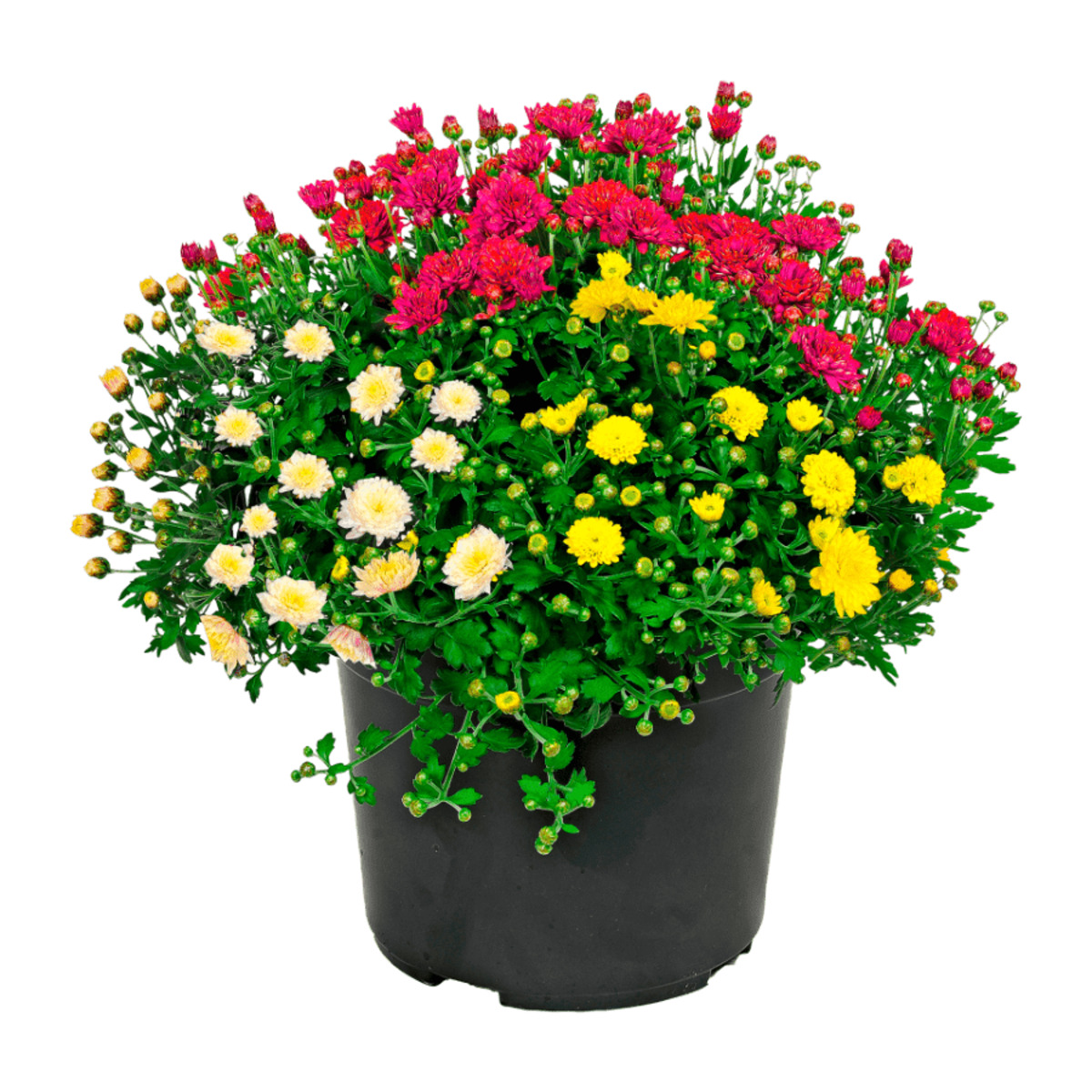 Bild 2 von GARDENLINE     Chrysanthemen-Büsche-Trio